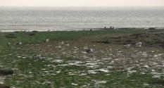 Goélants et Cormorans à Audresselles