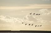 Vol de cormorans sur le port de Boulogne